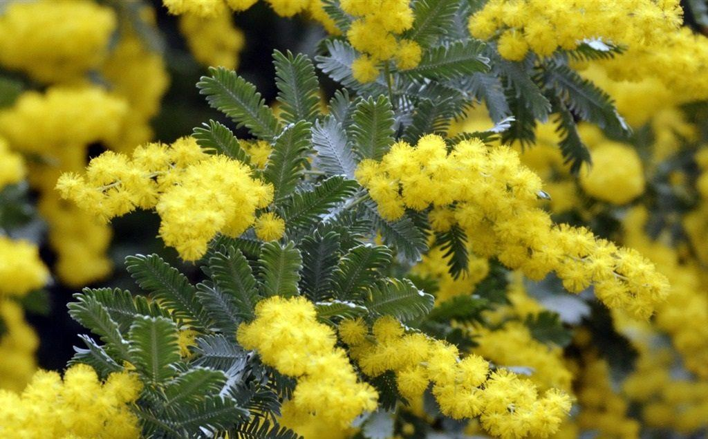 acacias-flores-amarillas.jpg