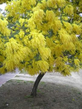 arbol de flores amarillas