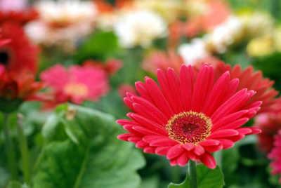 arboles con flores rojas gerbera