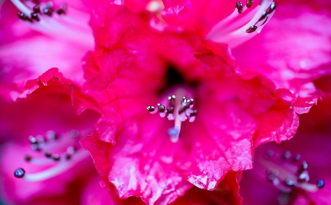 azaleas-purpuras.jpg