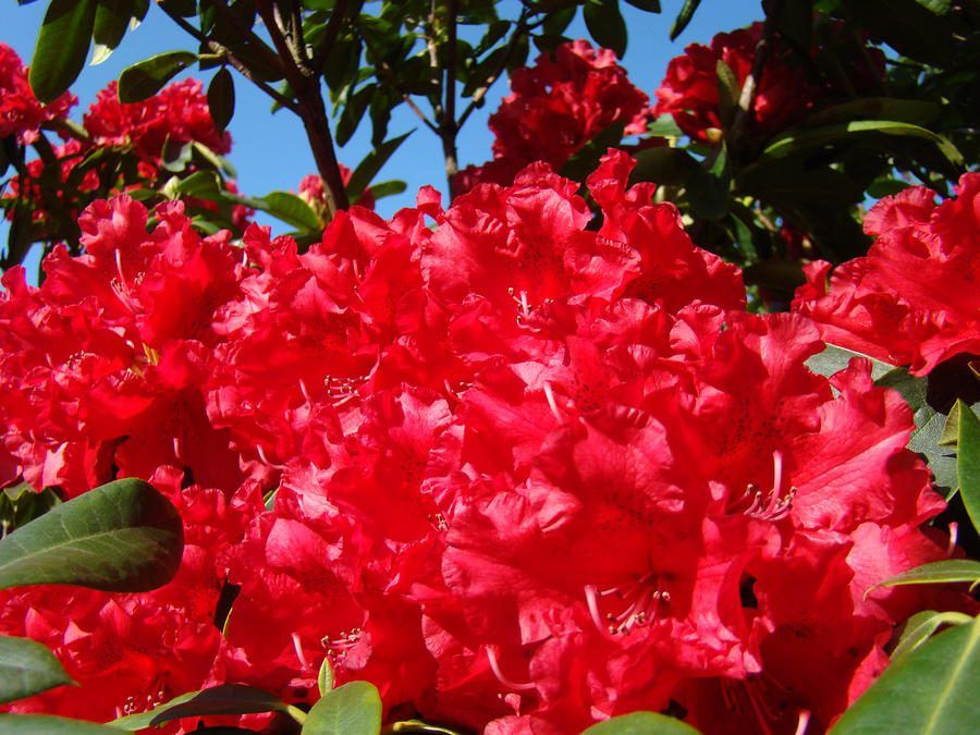 azaleas-rojas.jpg