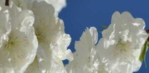 blancas imagenes de flores de paz