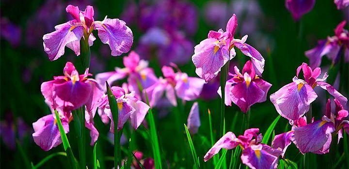 Cuidados de la planta de iris