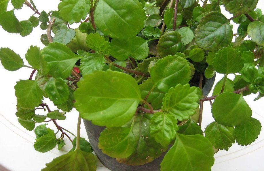 Cuidados de la planta del dinero - Plantas de interior cuidados ...