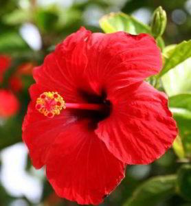 de flores rojas imagenes