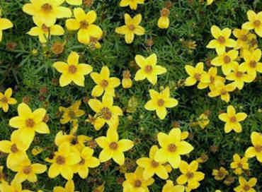 flor amarilla ferulifolia