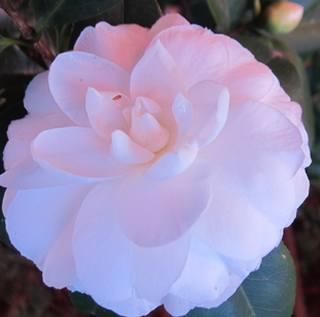 Flor camelia cultivo floraci n significado y cuidados - Cuidados de la camelia japonica ...