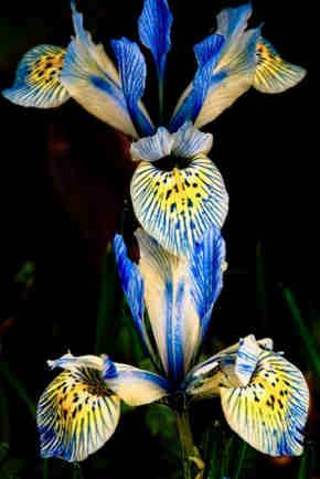 flor de iris blanca