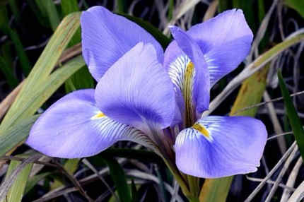 flor de iris significado