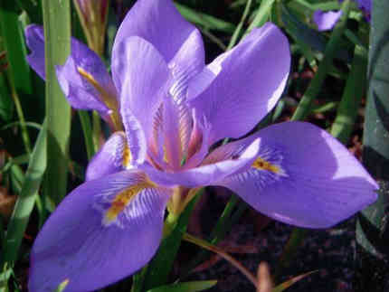 flor de iris tatuaje significado