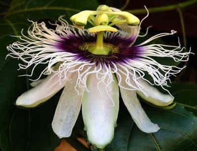 flor de la pasion 2