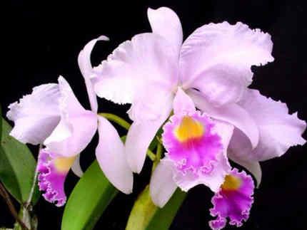 flor de mayo arbol