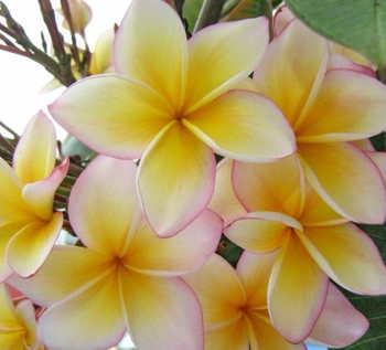 flor de mayo planta
