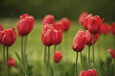 flor roja tulipan