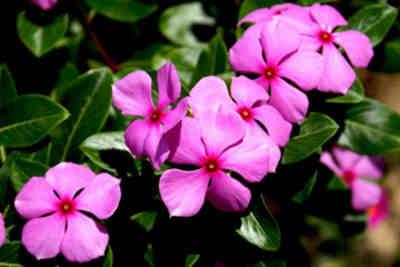 flor vinca rosea