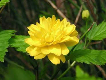 flores amarillas Kerria