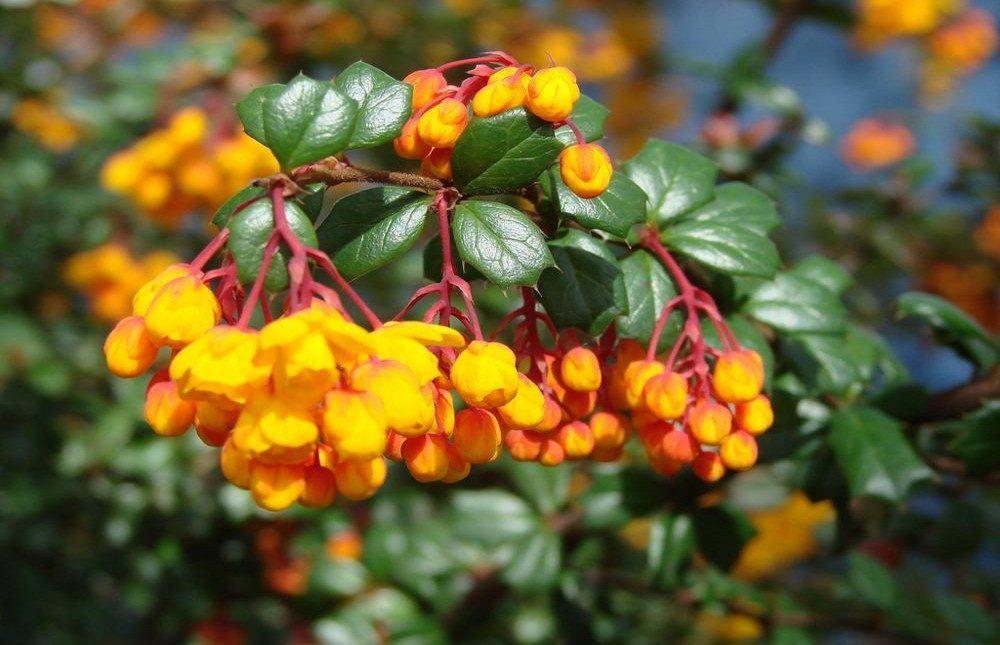 flores-amarillas-agracejos.jpg