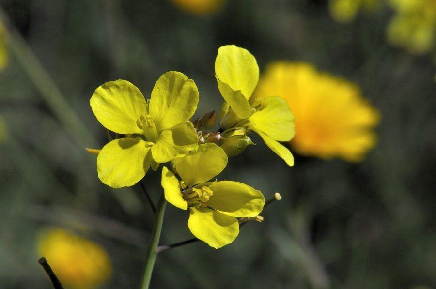 flores-amarillas-aleluyas-amarillas.jpg