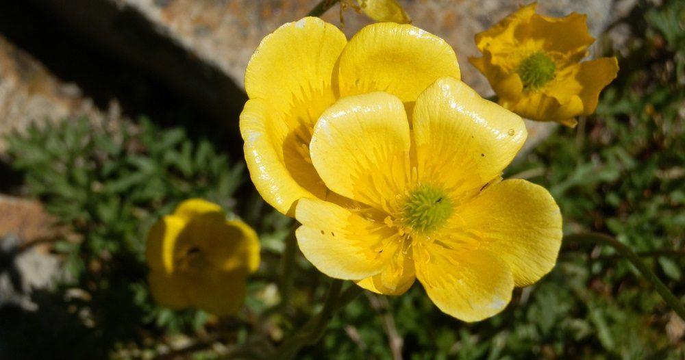 flores-amarillas-botones-de-oro.jpg