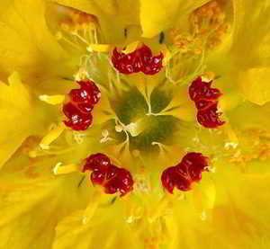 Flores Chilenas Y Hierbas Medicinales Chilenas Imagenes De Flores