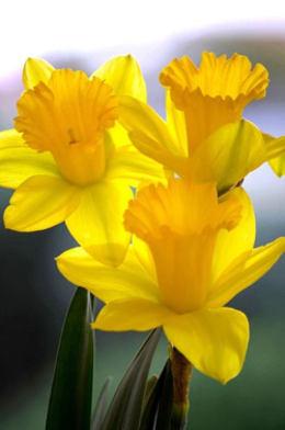 flores amarillas imagenes
