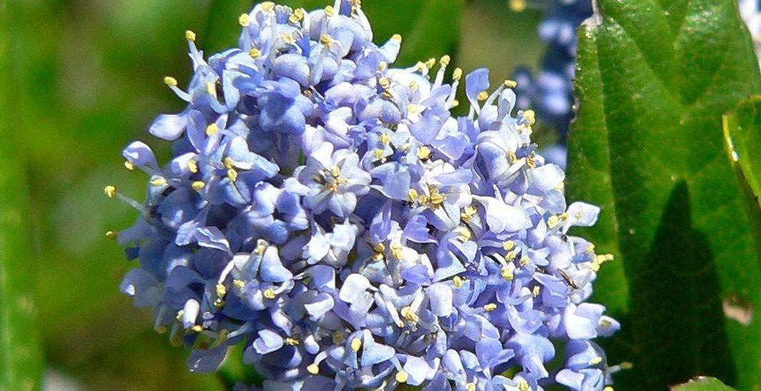 flores-azules-campanillas-chinas.jpg