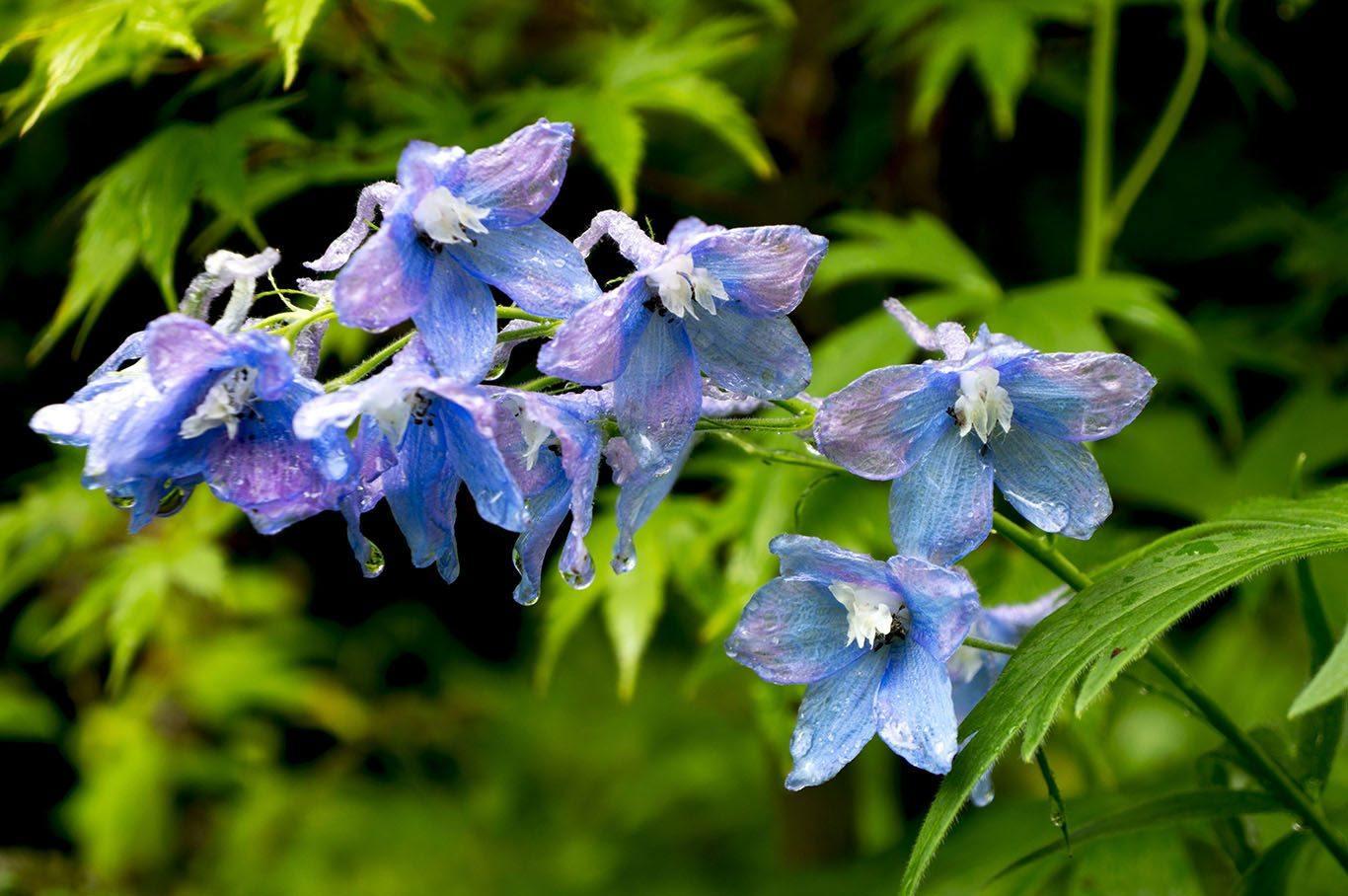 flores-azules-campanulas.jpg