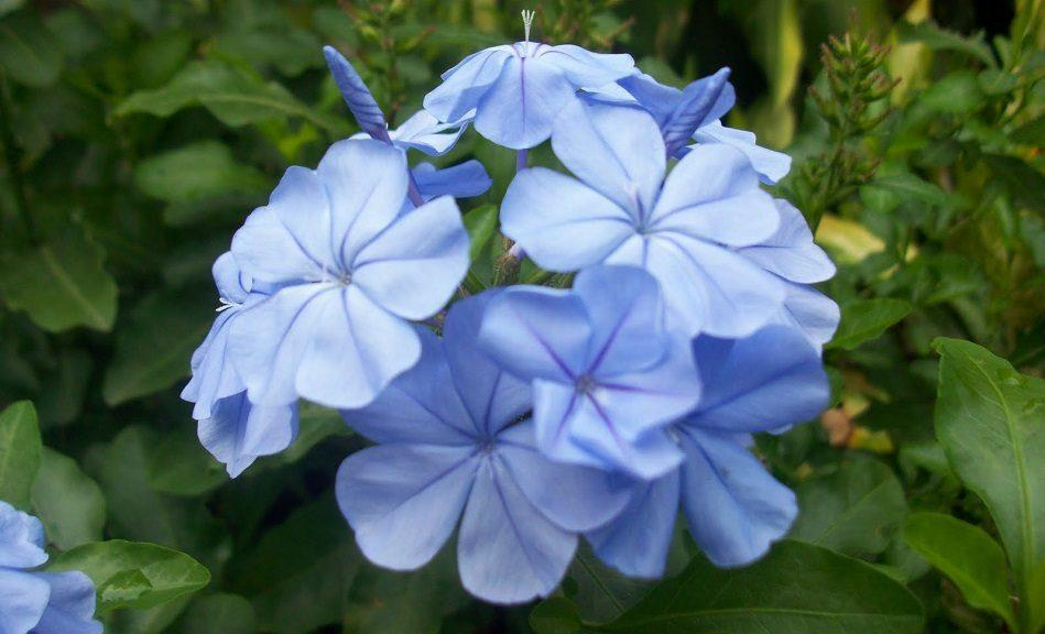 flores-azules-lirios-de-agua.jpg