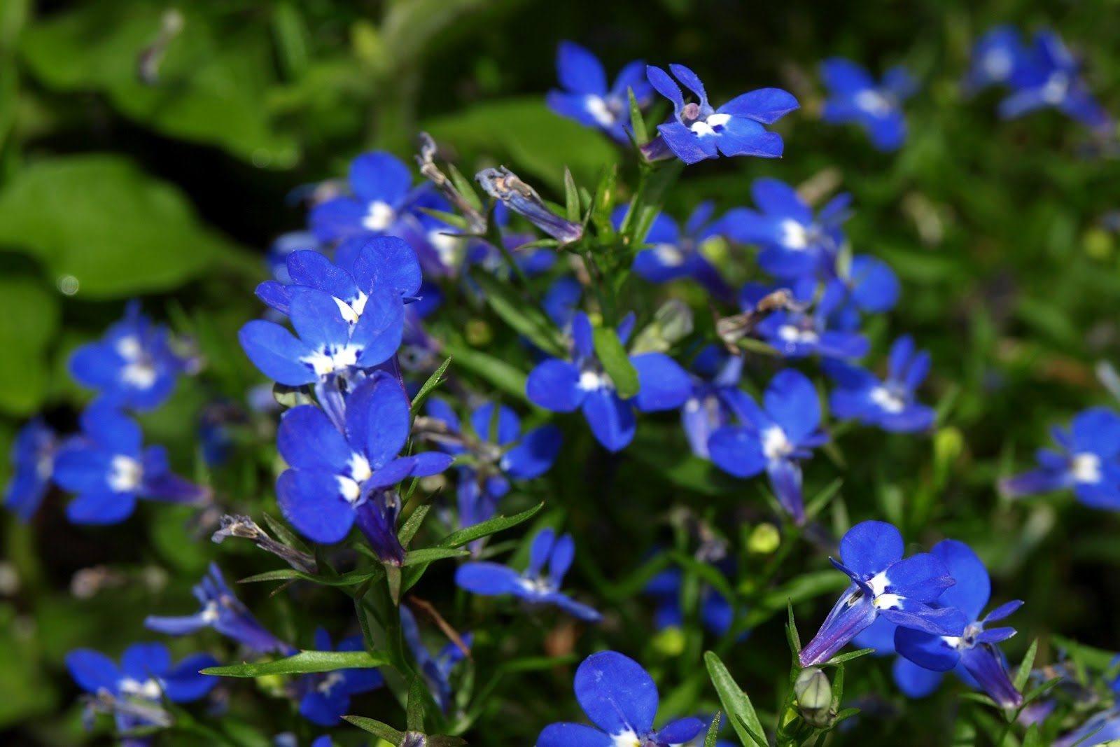 flores-azules-lobelias.jpg