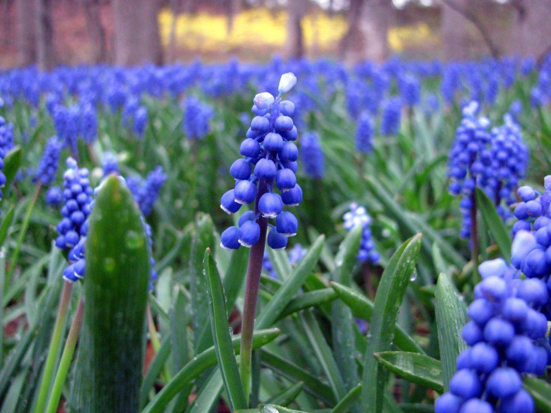 flores-azules-muscaris.jpg