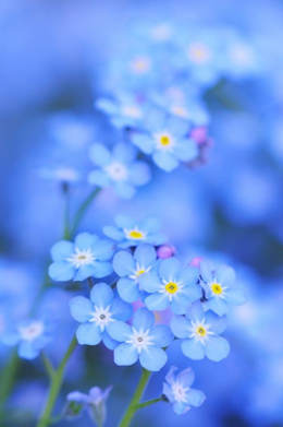 flores azules naturales