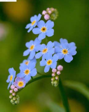 flores azules significado