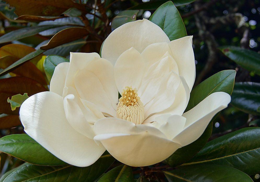 flores-blancas-amarilis.jpg