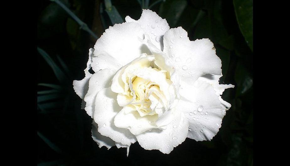 flores-blancas-claveles.jpg