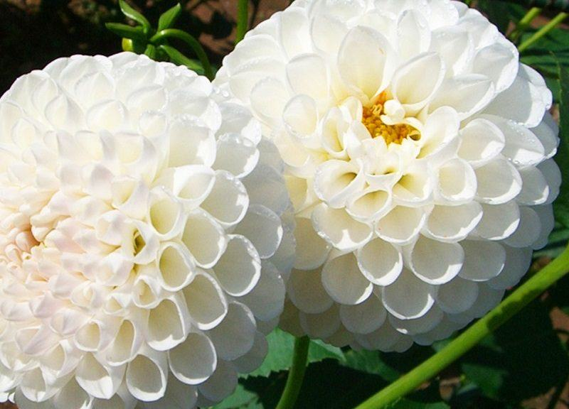 flores-blancas-dalias.jpg