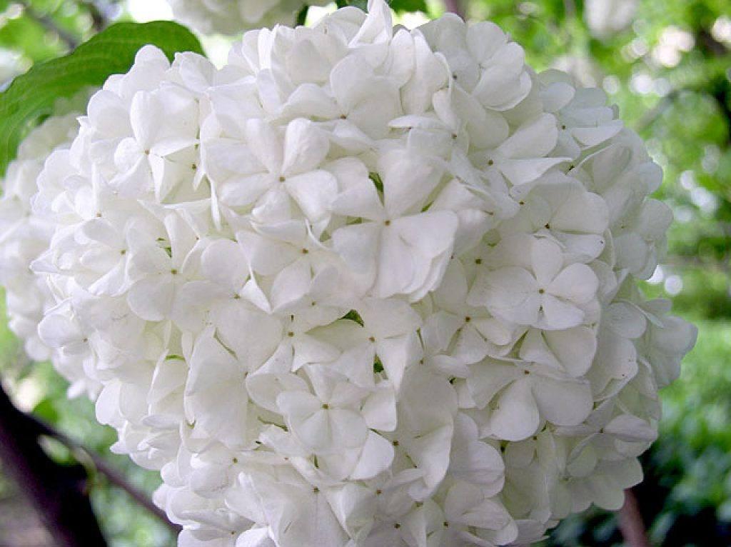 flores-blancas-hortensias.jpg