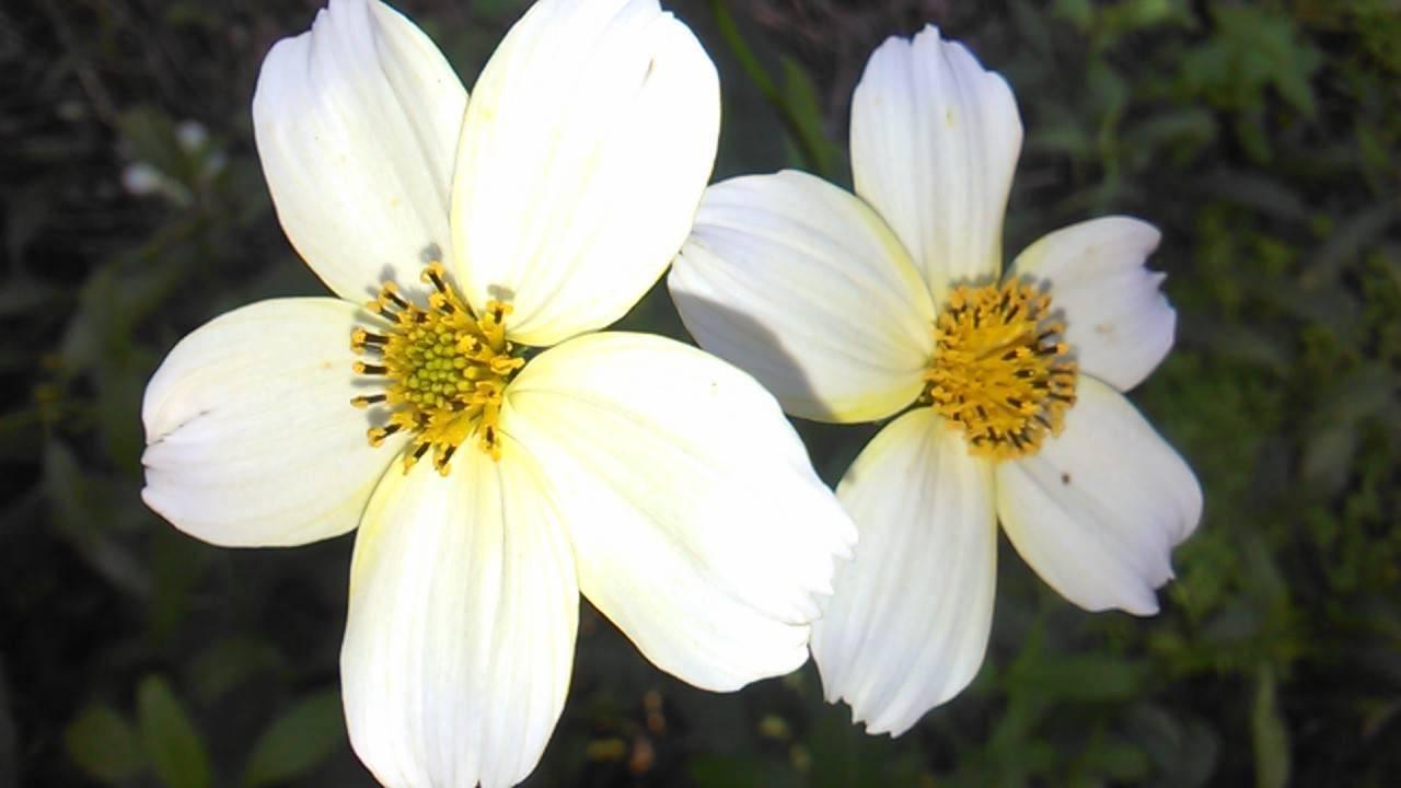 flores-blancas-jaras-blancas.jpg