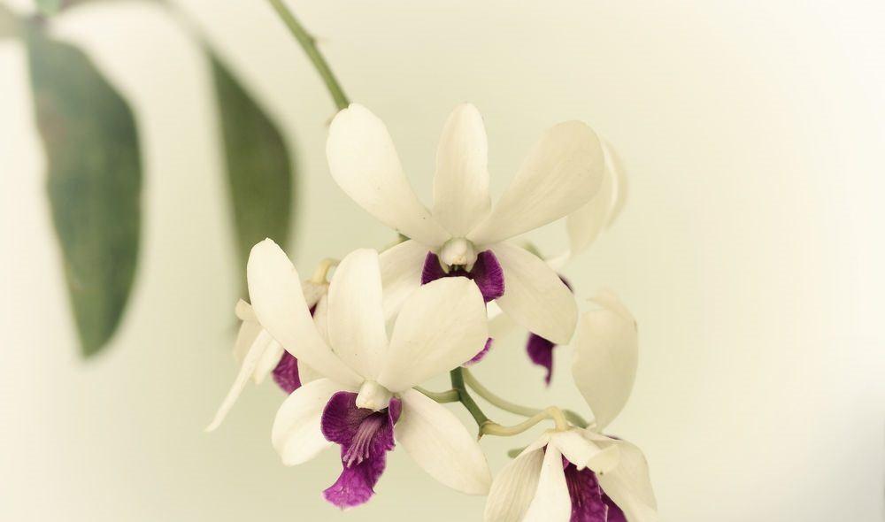 flores-blancas-orquideas.jpg