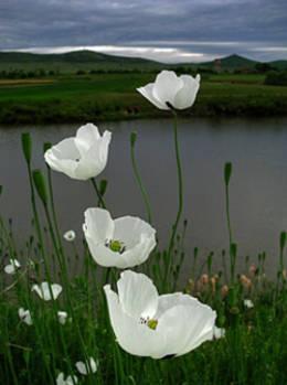 flores-blancas.jpg