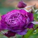 flores de rosa imagenes