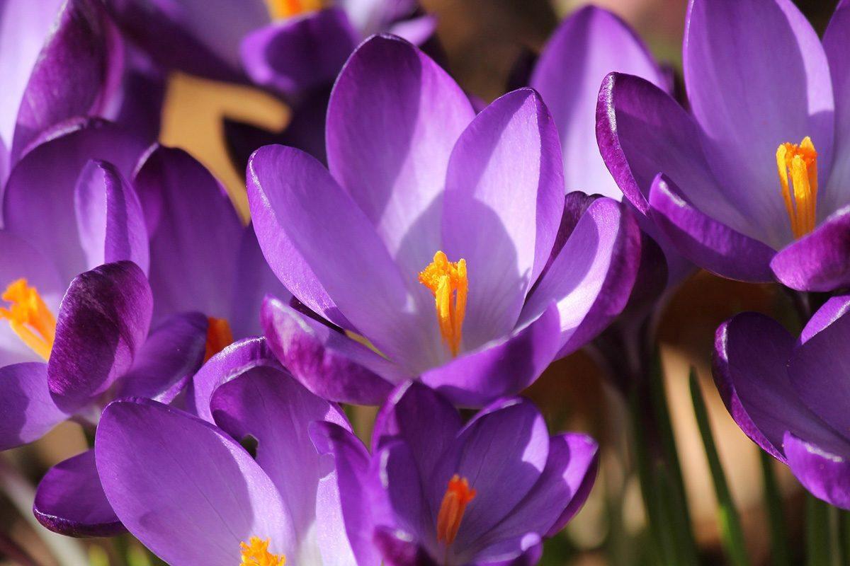 flores-moradas-azafranes.jpg
