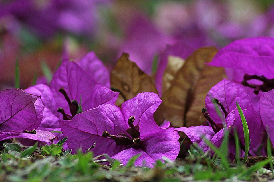 flores-moradas-buganvillas.jpg
