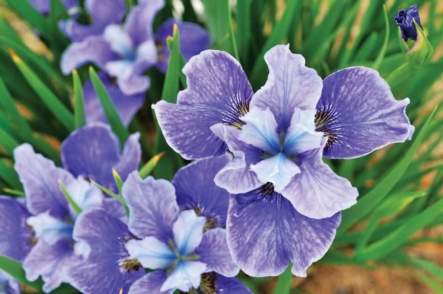 flores-moradas-iris.jpg
