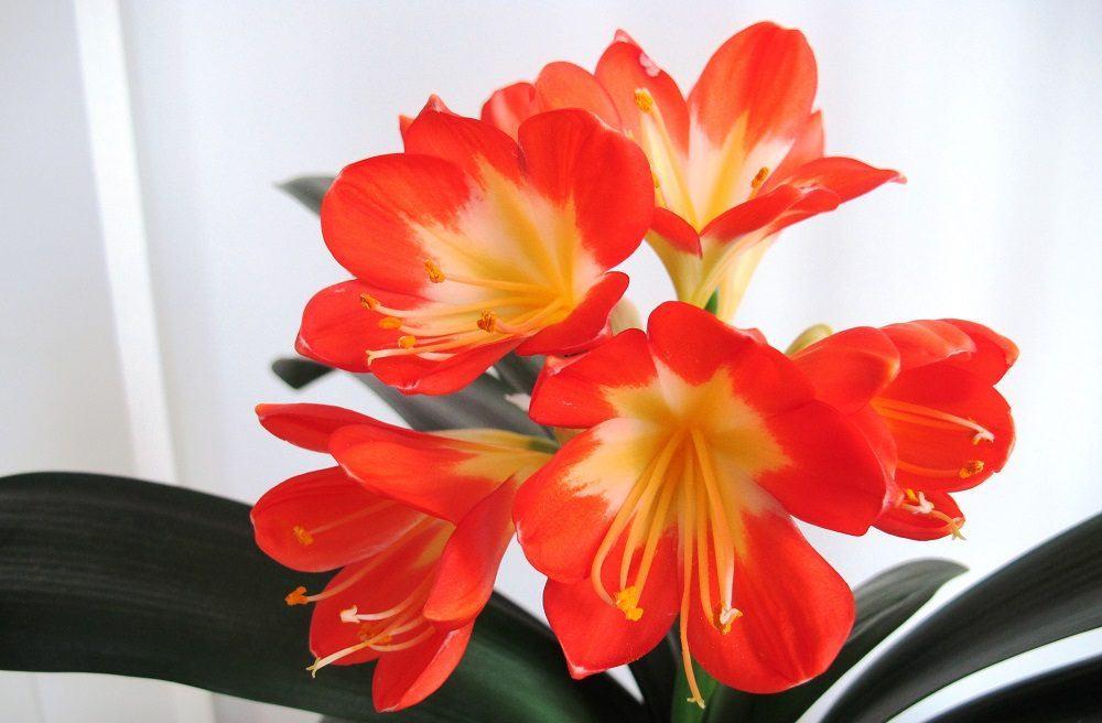 flores-naranjas-clivias.jpg