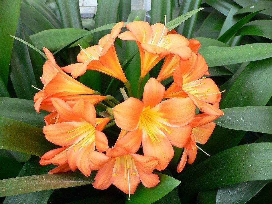 flores-naranjas-jazmines-naranjas.jpg