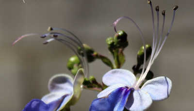 flores que encontraras en cuba 5
