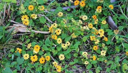 flores que encontraras en cuba 6