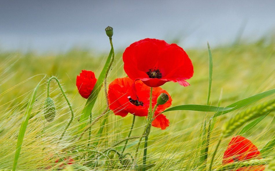 flores-rojas-amapolas.jpg
