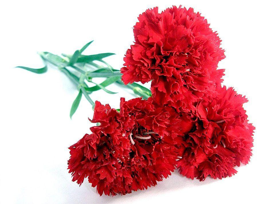 flores-rojas-claveles-del-monte.jpg