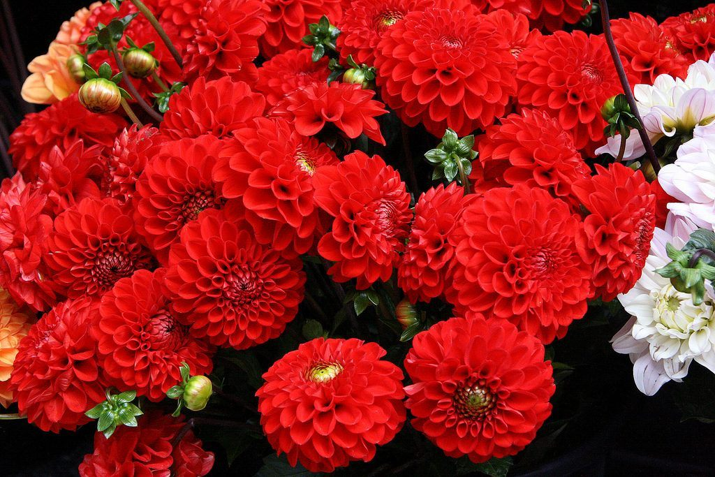 flores-rojas-dalias.jpg